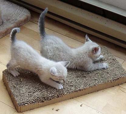 Kittens with horizontal scratch board