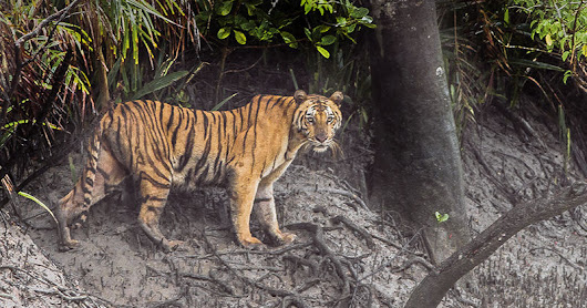 Tiger, Tiger: Caught by Surprise (Video) in India