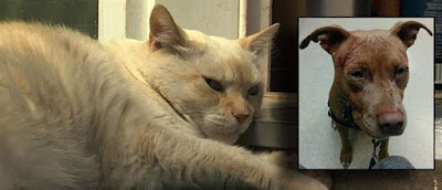 Γάτα έβγαλε νοκ άουτ επτά… πιτ μπουλ!