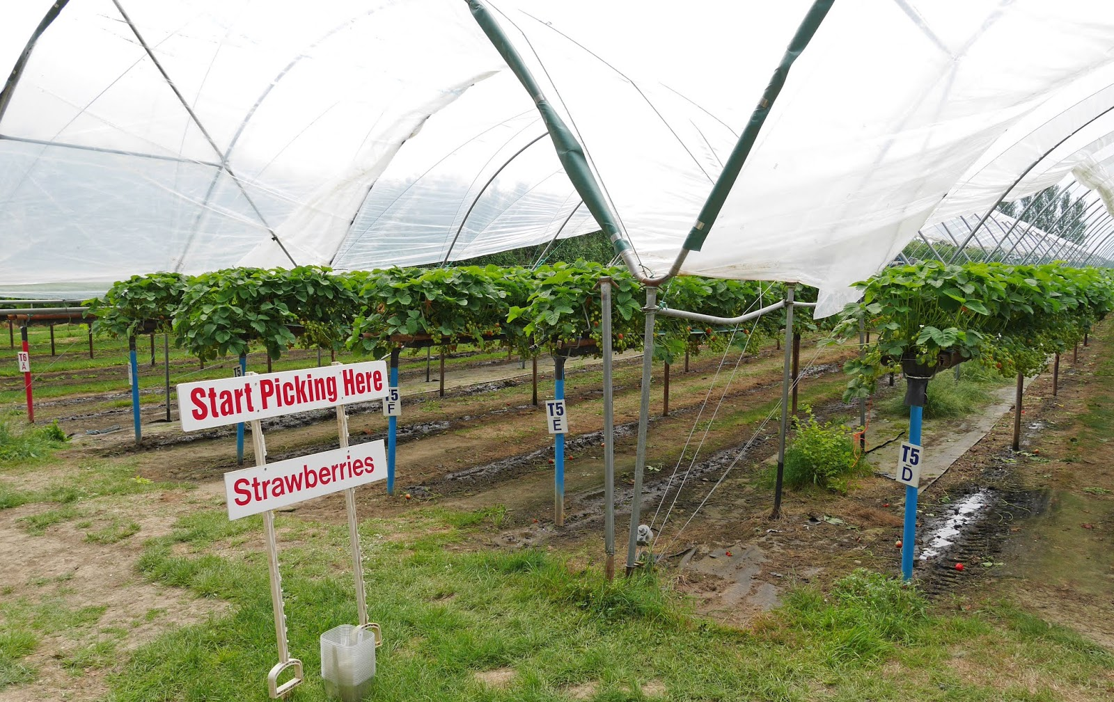 Strawberry plants at Cammas Hall Fruit Farm in Essex