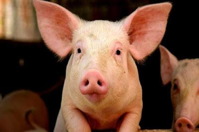 babi bengong