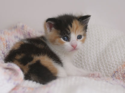 Little tortie kitten Floss
