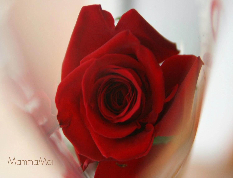 Boccolo di Rosa Rossa ... Foto MammaMoi