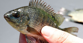 Thumbnail image for Wanita Tanpa Alat Sulit Jalani Pembedahan Guna Kulit Ikan Tilapia