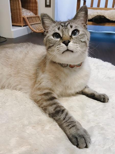 じっとこっちを見つめるシャムトラ猫