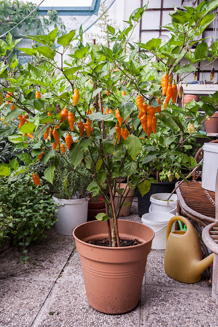 Habanero lantern Orange chili plant