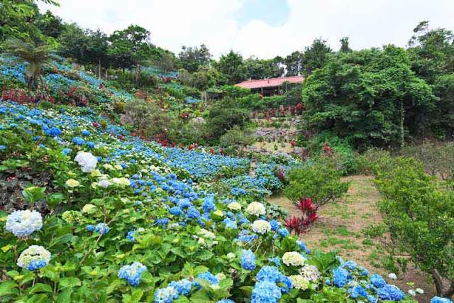Hillsides full of hydrangea blossoms