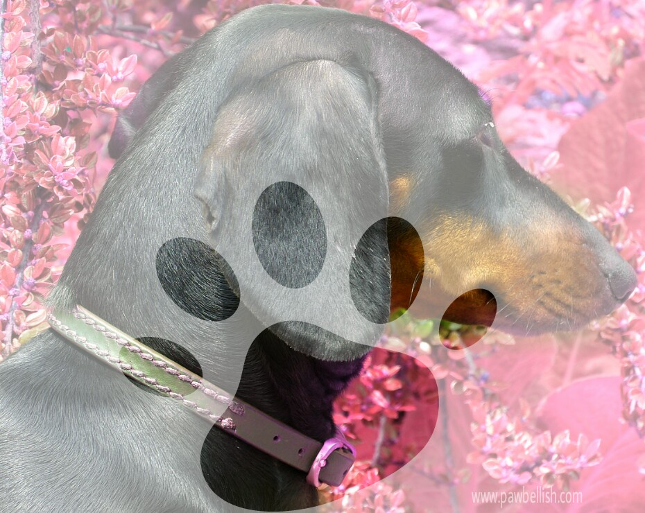 Cute dachshund with dog collar