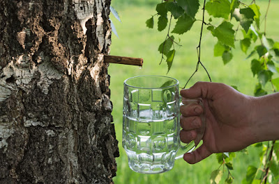 7 Reasons You Should Drink Birch Water And How To Make It Yourself