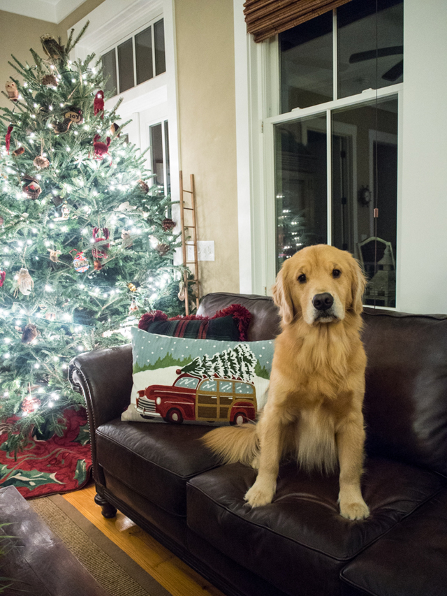 Golden Retriever Christmas