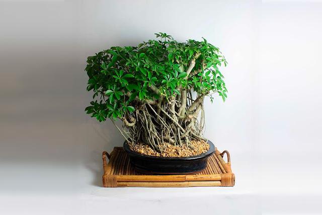 бонсай деревья в интерьере, домашние деревья бонсай