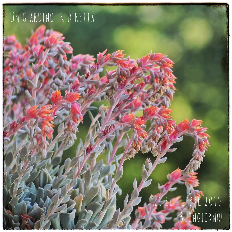 """Fiori Di Stagione Settembre fiori di settembre: echeveria runyonii """"topsy turvy"""" - un"""