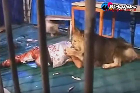Video Detik-detik Seorang Pawang Diterkam Singa