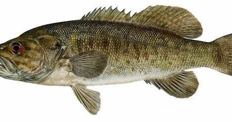 The Thrilling Quest For Smallmouth Bass