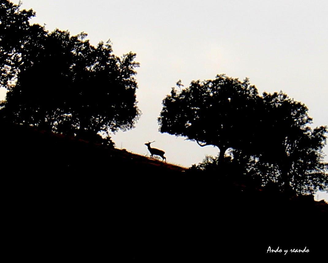 Berrea en Monfragüe, ciervos