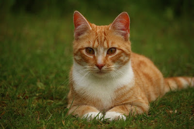 Contoh Descriptive Text Tentang kucing (cat)