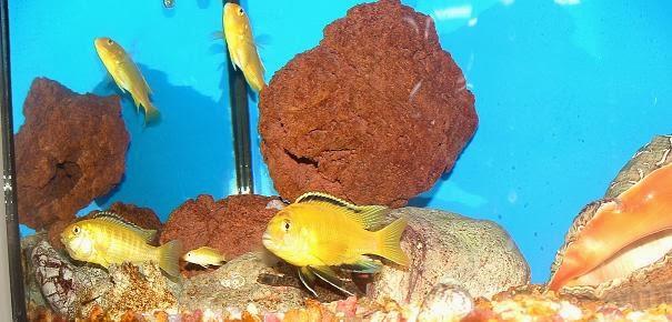 Sarı prenses balığı hakkında bilgi