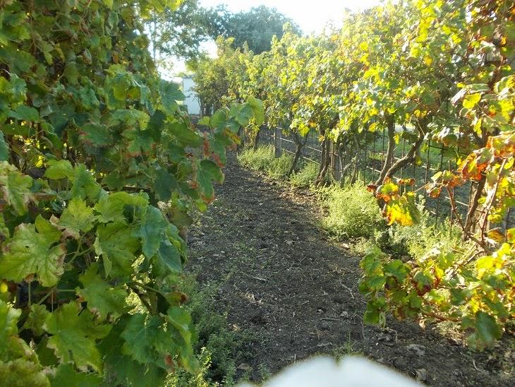 como cultivar viñas en los Bosques Comestibles