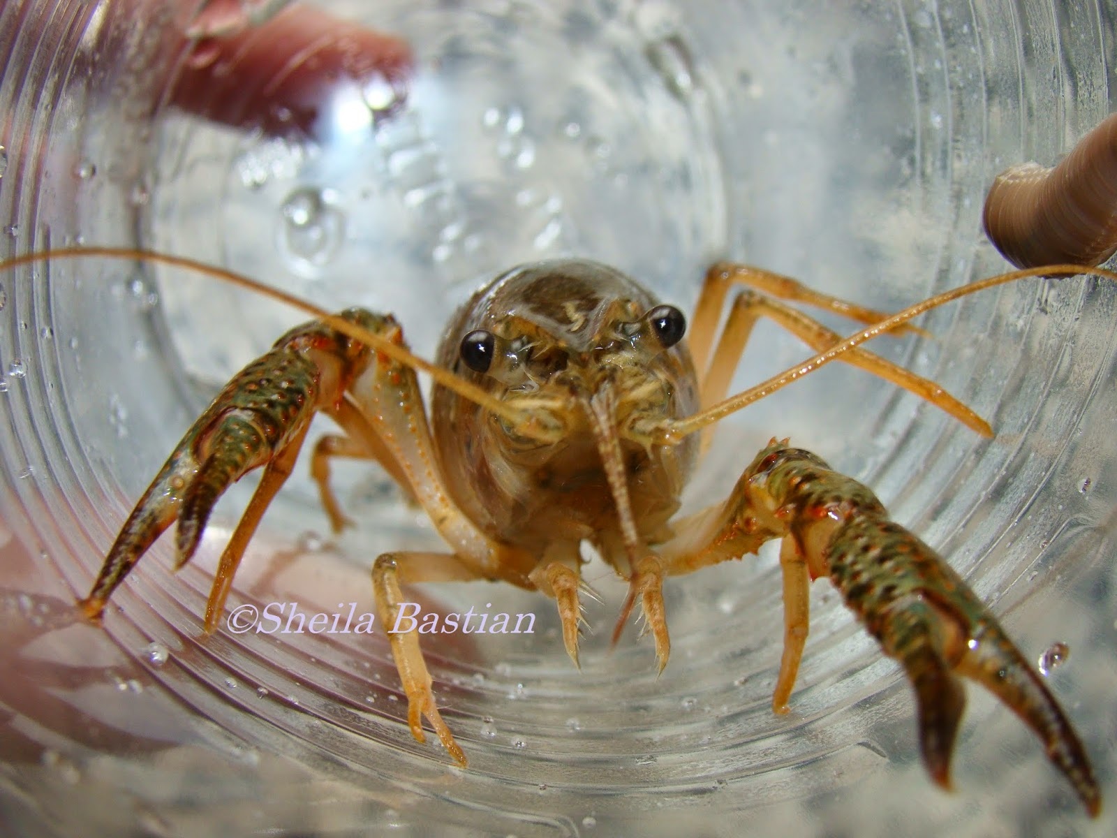 Science Magazine The Freshwater Lobster Or Crayfish