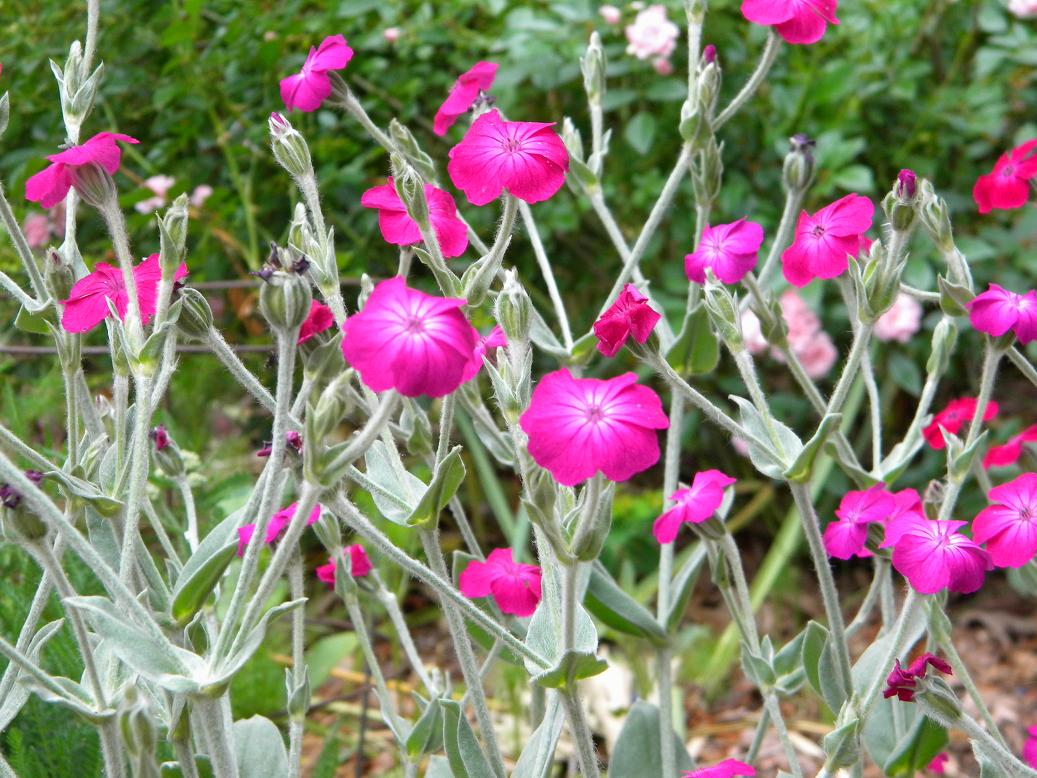 Rose Campion Or Lychnis Is A Small Flower About The Size Of Quarter But Its Hot Pink Petals Definitely Command Attention