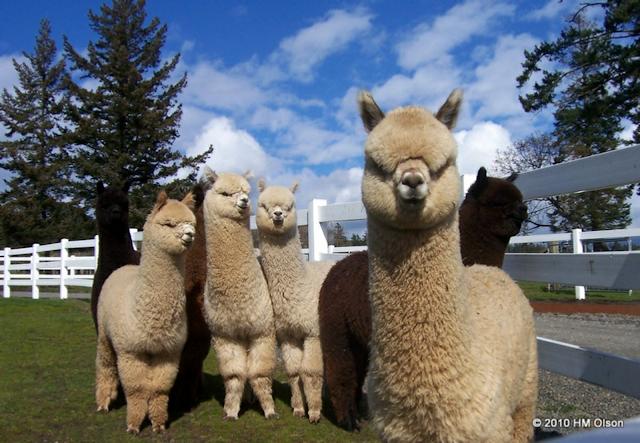 Alpacas San Juan Island Krystal Acres