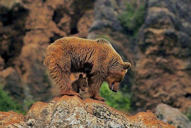 Animals: Bears and fatherhood