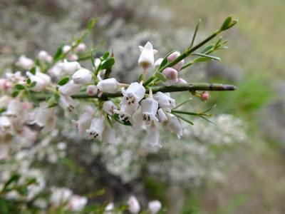 flor de Brusquilla