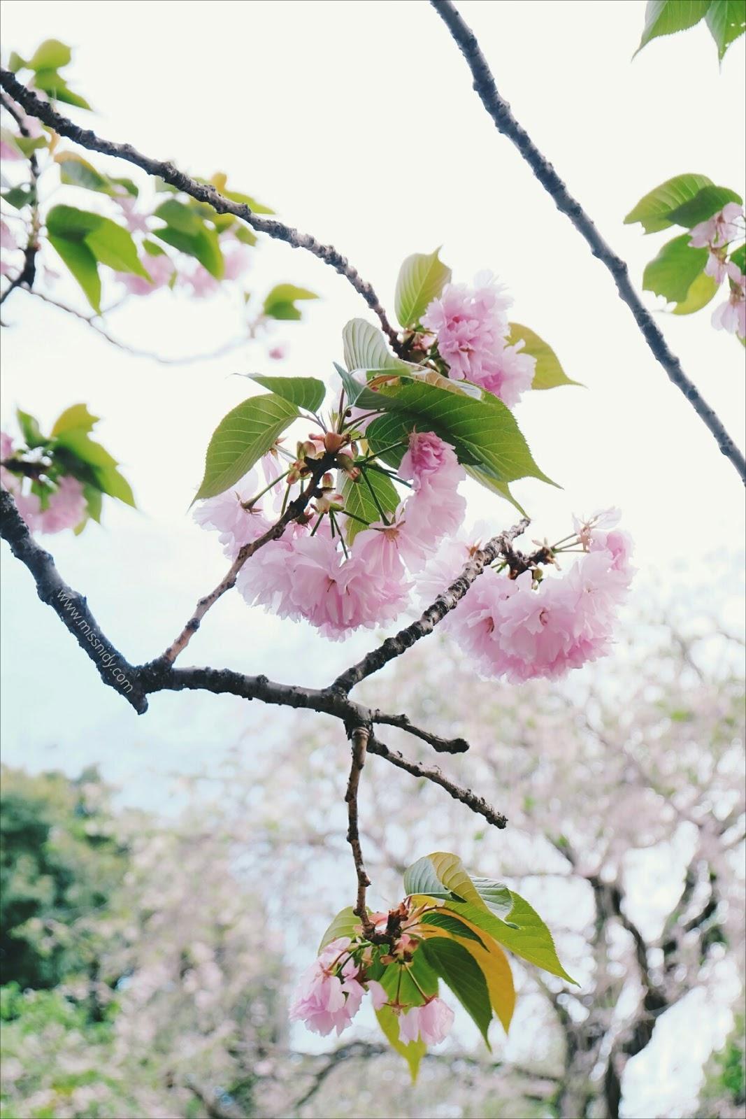 sakura di chidorigafuchi park tokyo