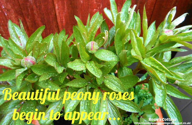 Beautiful peony roses finally begin to appear...