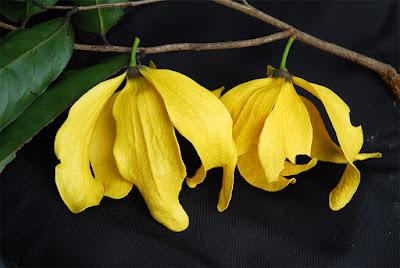 กระดังงาเขา ไม้ดอกหอมพื้นเมืองของไทย ดอกสีเหลืองเข้มสวยงาม มีกลิ่นหอมแรง