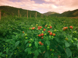 Field of peppadew pepper plants