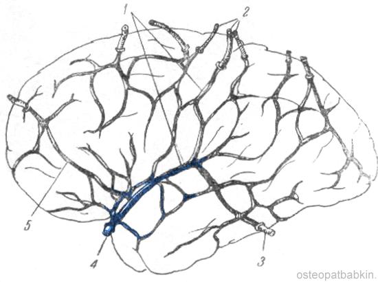 поверхностная венозная система полушарий головного мозга (по Бейли). Синим отмечена средняя мозговая вена, впадающая в кавернозный синус.  1 — вена Троларда; 2 — вены роландовой борозды; 3 — вена Лаббе; 4 — средняя мозговая вена; 5 — анастомоз между ветвями лобных вен и ветвями средней мозговой вены.