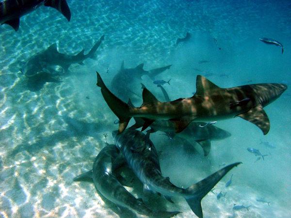 Life of Tiger Shark | Life of Sea  Life of Tiger S...