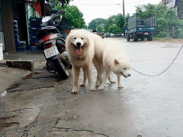 Phối giống chó samoyed và quy trình phối giống