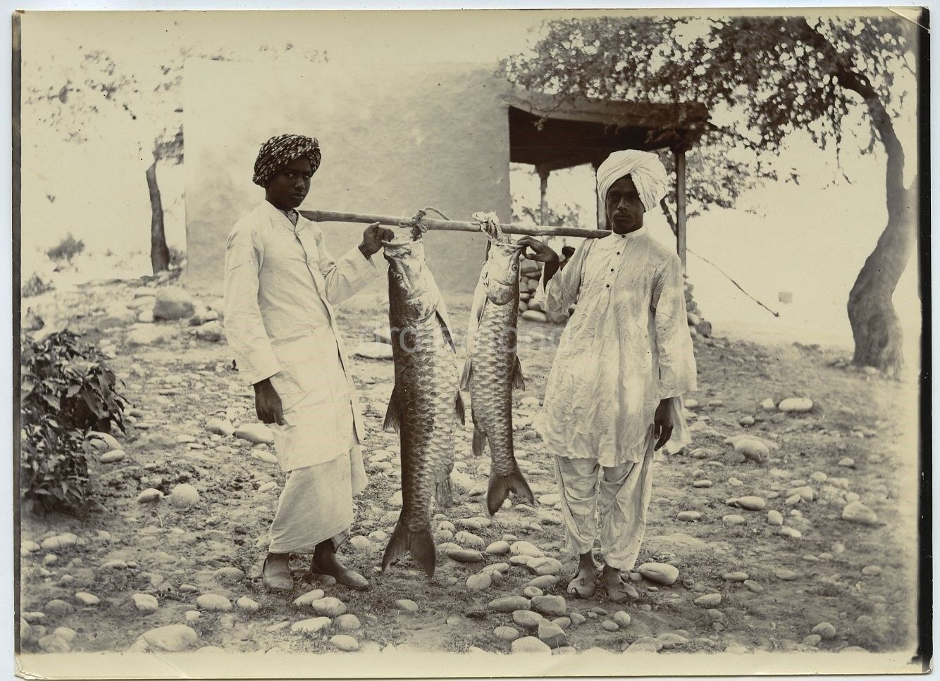 Indian Men with Two Huge Fish - c1900's