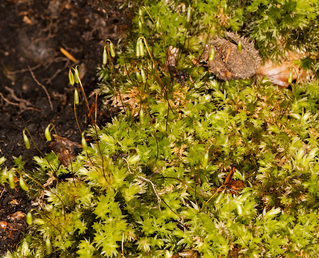 Mnium hornum, Swan's-neck Thyme-moss.  Keston Common, 3 March 2016