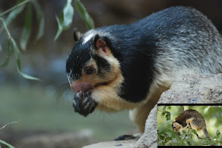 Sri Lanka National Animal Giant Squirrel.