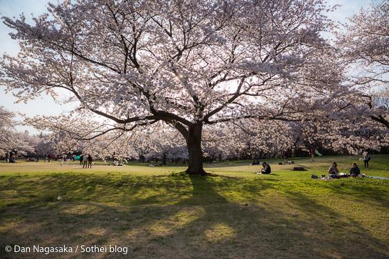 昭和記念公園の満開のソメイヨシノ