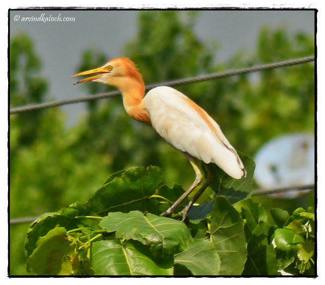 Cattle Egret,
