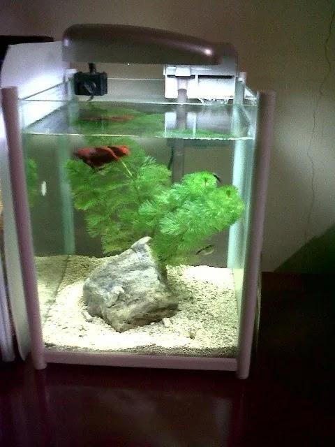 Contoh Aquarium Modern Unik Untuk Ikan Cupang Hias