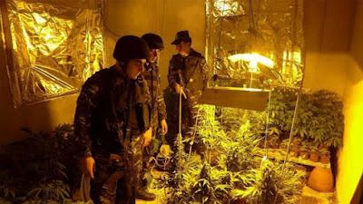 الشرطة تضبط 250 شتلة مخدرة في نابلس