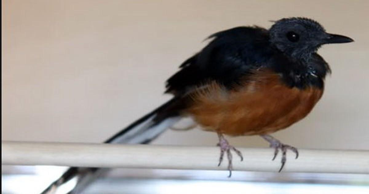Cara Ampuh Untuk Mengatasi Burung Murai Batu Kurang Birahi