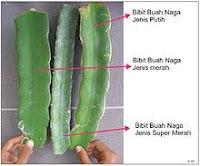 Teknik Stek Buah Naga