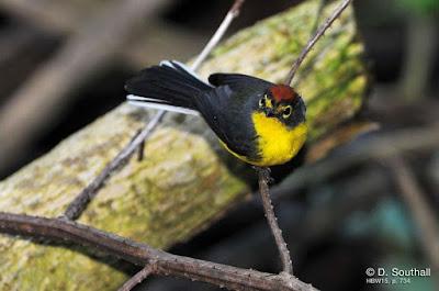 Paria Redstart