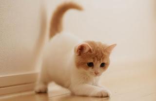 Harga Kucing Anggora Kecil