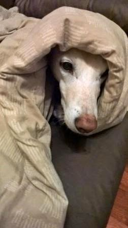 Lurcher wrapped in duvet
