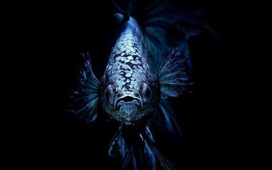 Inilah 5 Jenis Ikan Cupang Terbaru dan Terlengkap - ikanhiasku