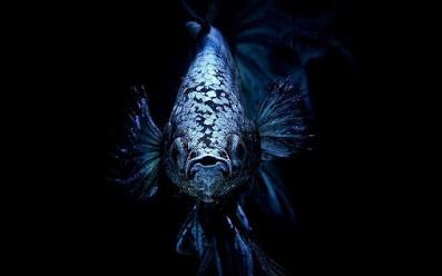 Inilah 5 Jenis Ikan Cupang Terbaru dan Terlengkap yang Paling Banyak dicari