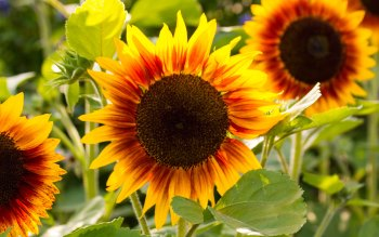 Wallpaper: Sunflowers in Summer