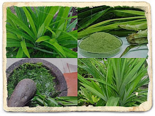 The Latest Of 10 Health Benefits of Pandanus Leaves and Side Effects - Healthy T1ps